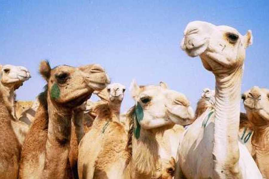 EMO TOURS EGYPT 4 Hours tour to Birqash Camel market