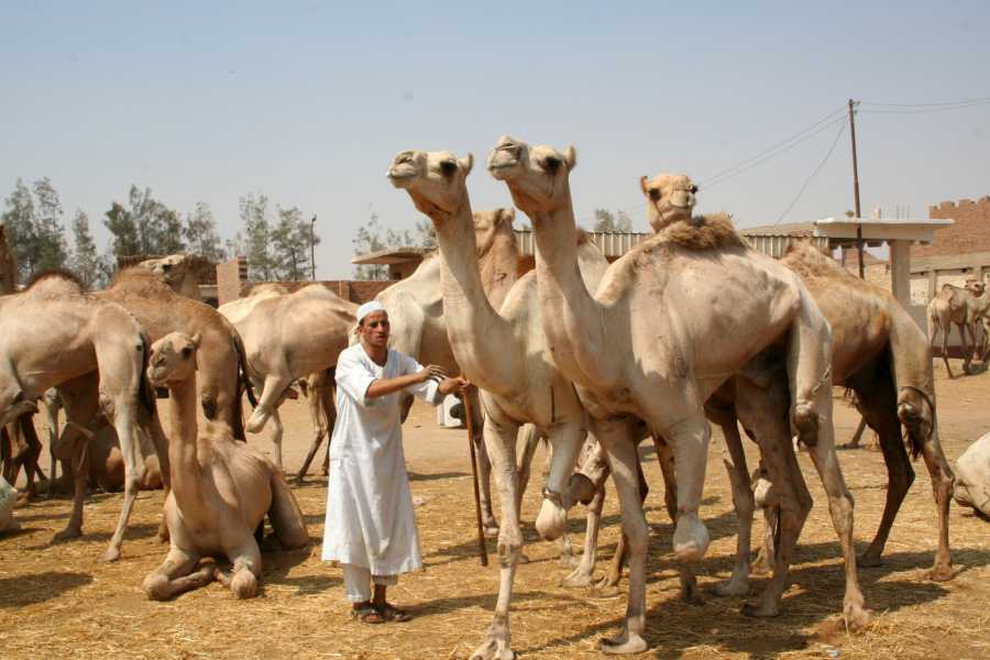 EMO TOURS EGYPT Cairo Unusual Day Tour Visit Camel Market in Birqash