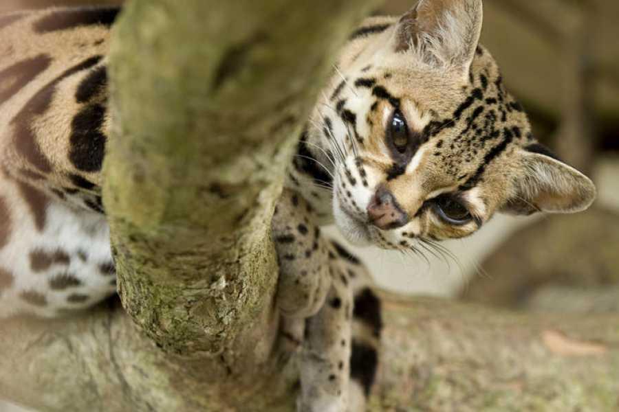 Tour Guanacaste On-Line Puma & Sloth Rainforest Journey