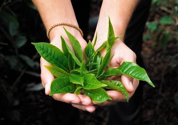 Zistwar Dité - Experience Tea Plucking in Mauritius