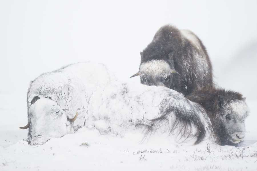 WildPhoto Norway Winter Musk Ox