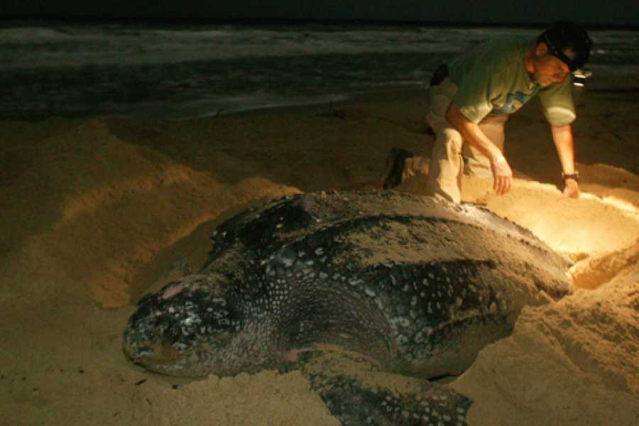 Tour Guanacaste Leatherback Sea Turtle Nesting Tour