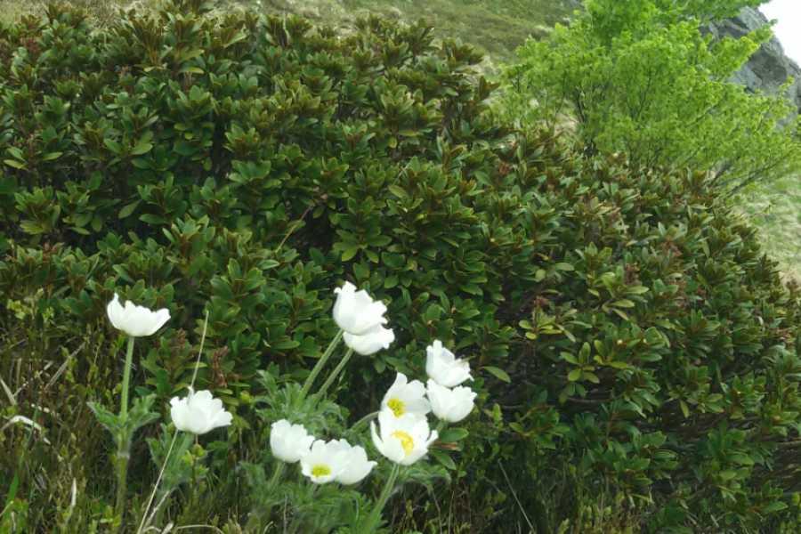 Modenatur Rododendri in fiore sul Libro Aperto