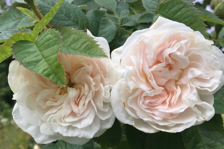 Opplev Runde AS // Hivens Historisk vandring i den vakre rosehagen på Brekkegarden