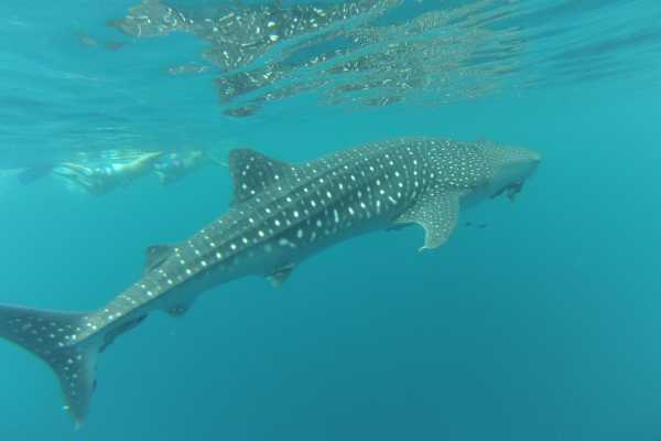 Pacifico Tours SA de CV La Paz Swimming with Whale Shark