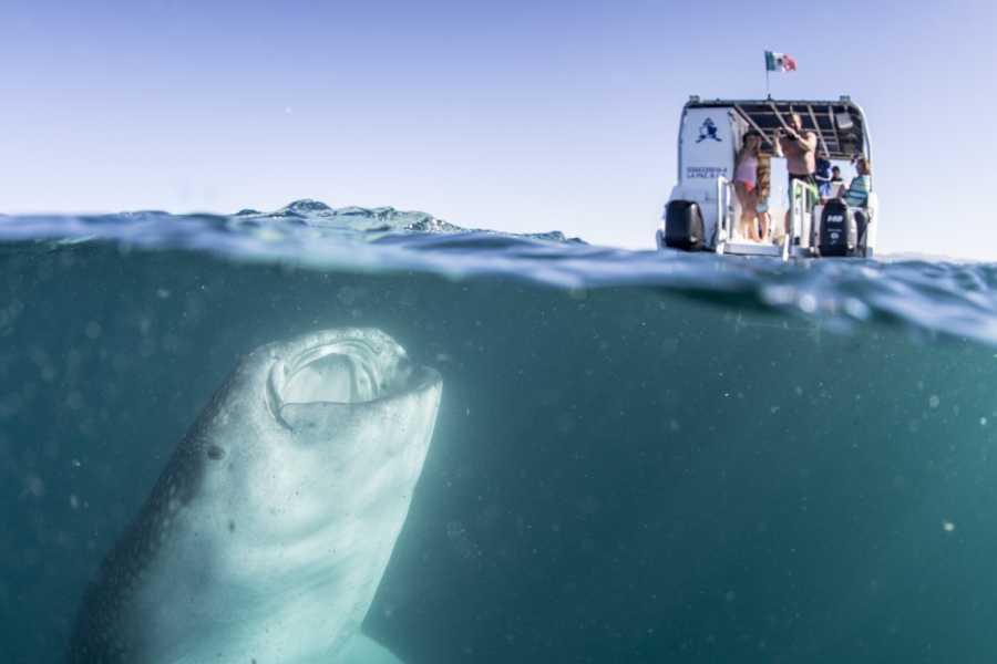 Pacifico Tours SA de CV La Paz Swimming with Whale Shark