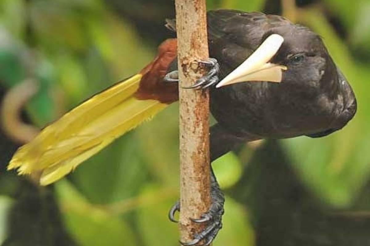 Panoramic Panama (BW01) PIPELINE ROAD BIRDWATCHING