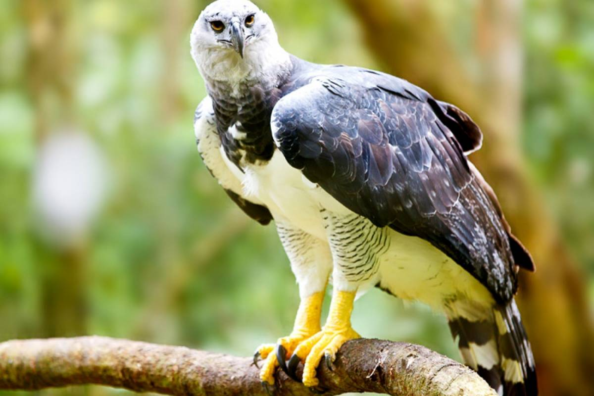 Panoramic Panama (PD01) Harpy Eagle (3 days/2 nights)