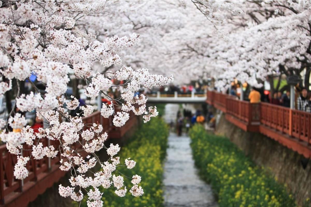 Kim's Travel 45【赏花!】 韩国最有名的樱花节:镇海军港祭
