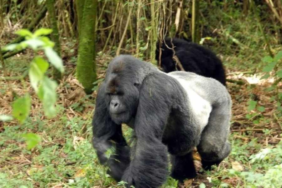 BOOKINGAFRICA.NET Gorilla Trekking - Sabyinyo Silverback Lodge