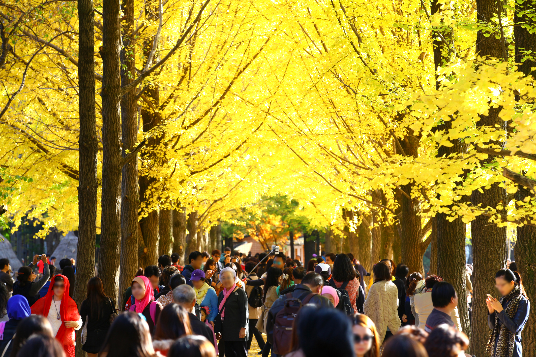 Nami Island, famous for its beautiful tree-lined roads