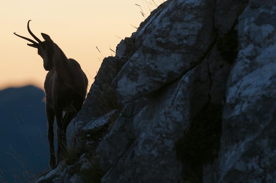 I camosci del Monte Amaro in una splendida serata autunnale
