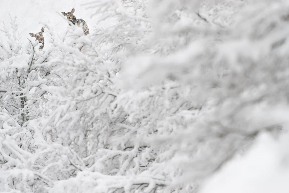 Un'intensa nevicata sorprende i cervi sulle montagne del Parco