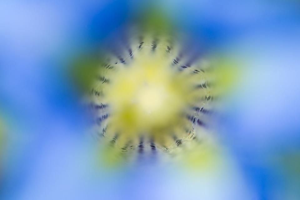 Il blu profondo della Genziana di Koch. La colorazione intensa le permette di essere protetta dalla radiazione ultravioletta.