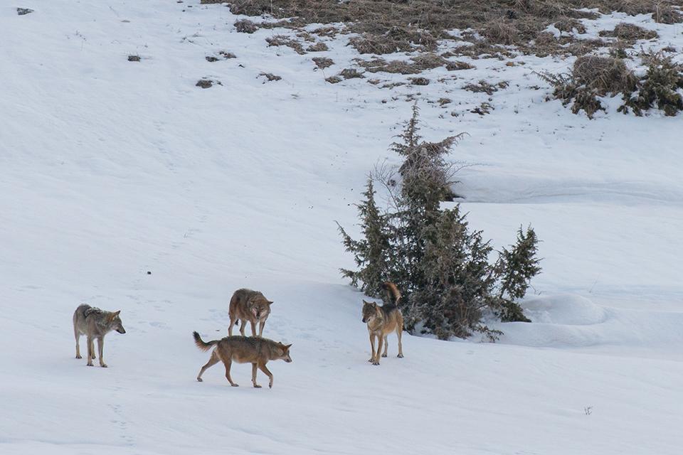 Una famiglia di lupi si riunisce durante la perlustrazione del proprio territorio
