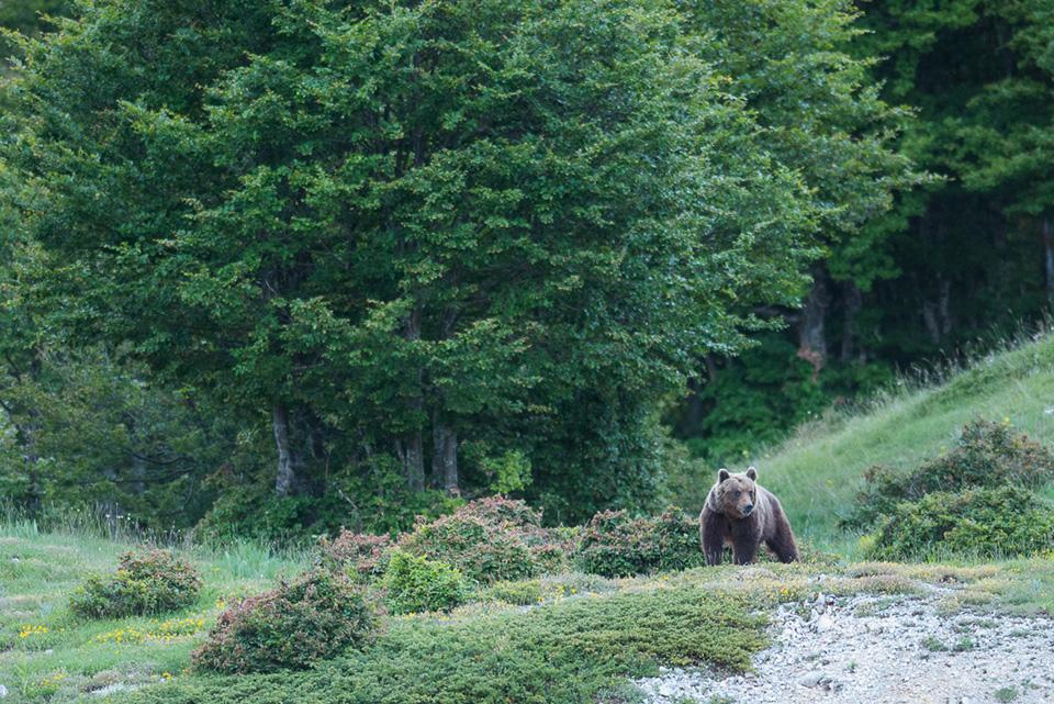 Una splendida femmina di Orso marsicano appare al margine della foresta di faggio