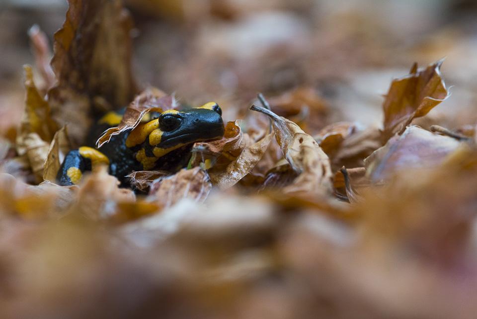La salamandra pezzata, facilmente riconoscibile per la sua colorazione nera con vistose macchie gialle