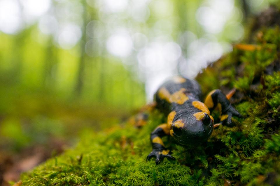 Una salamandra appenninica si muove all'interno della faggeta