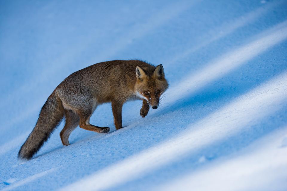 Una volpe si muove con astuzia dopo una fresca nevicata